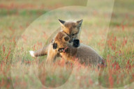 FEATURE - Zwei Fuchswelpen kuscheln auf dem Feld