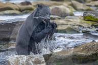 FEATURE - Schwarzbär auf Vancouver Island schnappt sich Fisch