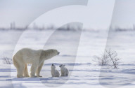 FEATURE - Eisbärmutter mit ihren Jungen erkunden die Umgebung im kanadischen Churchill