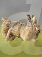 FEATURE - Frühlingszeit: Hasen jagen Häsinnen in Cambridgeshire Fens