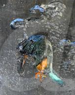 FEATURE - Faszinierende Unterwasserfotos: Eisvogel taucht, um einen Fisch zu fangen