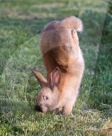 FEATURE - Genmutation lässt Kaninchen im Handstand laufen
