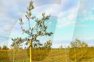 NEWS - Innovation durch Klimawandel: Olivenbäume im Burgenland, Österreich