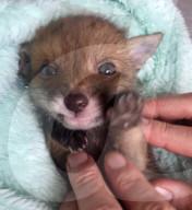 FEATURE - Nickerchen im Jackenärmel: Les Hemstock nimmt sich eines verwaisten Fuchsjungen an