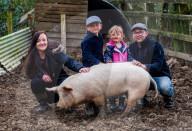 FEATURE - Ein Schwein von Sarah Allans Kleinbauernhof rettet sich mit einem mutigen Sprung aus dem Anhänger vor dem Schlachthof