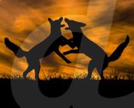 FEATURE - Junge Füchse kämpfen beim Sonnenuntergang an der Küste Hollands