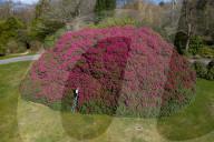 FEATURE - Englands grösster Rhododendron blüht rechtzeitig zum Ende des Lockdowns