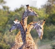 FEATURE - Optische Täuschung: Dreiköpfige Giraffe