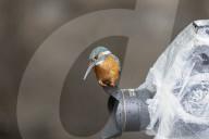 FEATURE - Ein farbenfroher Eisvogel taucht von der Kameralinse ins Wasser