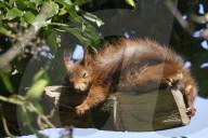 FEATURE - Eichhörnchen-Mutter gähnt nach einem Nachmittagsschläfchen
