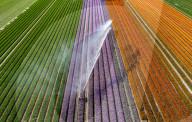 FEATURE - Farbenpracht: Blühende Tulpen- und Hyazinthenfelder in Holland