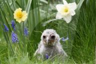 FEATURE - Zuwachs: Junger Milchuhu zwischen Hyazinthen und Narzissen im Gras