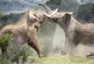 FEATURE - Zwei riesige Elefantenbullen liefern sich einen zermürbenden Kampf, der über eine Stunde dauert