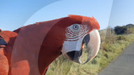 FEATURE - Papagei fliegt frei über die schottischen Lochs und Munros