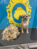 FEATURE - Dein Fell ist schön: Vierbeiner zeigen sich vor und nach dem Besuch beim Hundefriseur