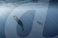 FEATURE - Faszinierende Aufnahmen: Buckwale tauchen verspielt