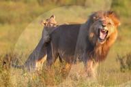 FEATURE - Das Spiel übertrieben: Löwenjunge beisst Vatertier in den Hintern