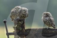FEATURE - Drei Jungeulen streiten um den besten Platz am frühen Morgen