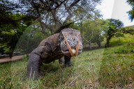 FEATURE - Komodowaran versucht neugierig an der Kamera zu lecken