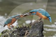 FEATURE - Eisvogel-Männchen teilt Fisch mit dem Weibchen