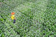 FEATURE - Kohlbauern arbeiten in riesigem Feld in Bangladesch
