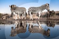 FEATURE - Zebras spiegeln sich im Wasser, während sie an einem Wasserloch trinken