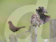 FEATURE -  Eine kleine Eule lässt sich von wütenden Amseln nicht beeindrucken