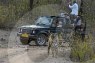 FEATURE - Tiger wird von Safari-Touristen fast übersehen