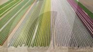 FEATURE -  Tulpenfelder  in Sint-Gillis-Waas in Belgien