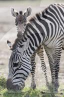FEATURE - Ein Zebrakalb kuschelt sich nach einer Rauferei zum Trost an seine Mutter