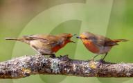 FEATURE - Misslungene Balz zwischen zwei Rotkehlchen: Weibchen lässt Insekt fallen, mit dem das Männchen sie füttern wollte