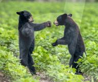 FEATURE - Ein Bärenjunges bietet seinem Bruder eine Umarmung an