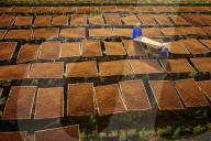 FEATURE - Bauern legen frische Tabakblätter aus zum Trocknen in Vietnam