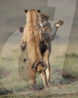 FEATURE - Löwenjungen scheinen zu tanzen, während sie einen Kampf austragen