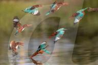 FEATURE - Bildserie: Eisvogel fischt nach Beute