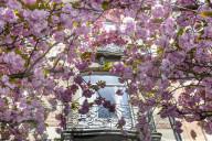 FEATURE - Prächtig: Japanischer Kirschblütenbaum in Brüssel