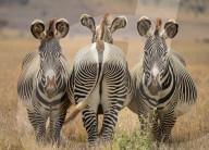 FEATURE - Tanzt aus der Reihe: Zebra zeigt dem Fotografen seinen Rücken