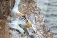 FEATURE - Basstölpel kämpfen erbittert um einen kleinen Klippenrandplatz am Meer