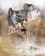 FEATURE - Ein Falke schnappt sich eine Wühlmaus mit einer seiner Krallen aus dem Moor