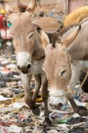 FEATURE - Unwirtlicher Arbeitsort: Esel werden zur Arbeiten auf einer Müllkippe im malischen Bamako benutzt