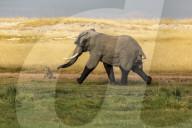 FEATURE -  Elefant jagt eine Hyäne mitten in einen Sumpf
