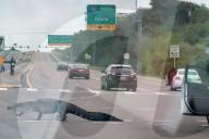 FEATURE - Alligator überquert eine belebte Verkehrskreuzung in Florida