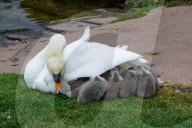 FEATURE -  Zehn auf einen Streich: Eine Schwanenmutter mit ihren Küken am Grand Western Kanal in Burlescombe