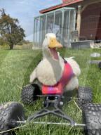 FEATURE - Eine tapfere Ente lernt dank ihres neuen Monster-Quad-Rollstuhls wieder zu laufen