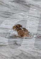 FEATURE - Ins Wasser gesprungen: Aufgeschreckter Hase schwimmt um sein Leben