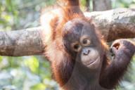 FEATURE - Der als Baby in einem Hühnerstall gefangen gehaltene Orang-Utan entwickelt sich nun in einer International Animal Rescue Aufzuchtstation prächtig