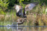 FEATURE - Beutezug im schottischen Hochland: Ein Fischadler erlegt einen Fisch