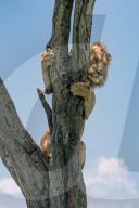 FEATURE - Löwe klammert sich an einen Baum und bringt sich vor Büffeln in Sicherheit