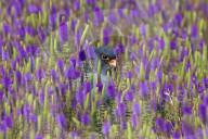 FEATURE - Ein Amurfalke versteckt sich in einem Blumenfeld in Lonavala, Indien