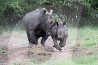 FEATURE - Ein wütendes Nashorn stürmt auf die Kamera zu